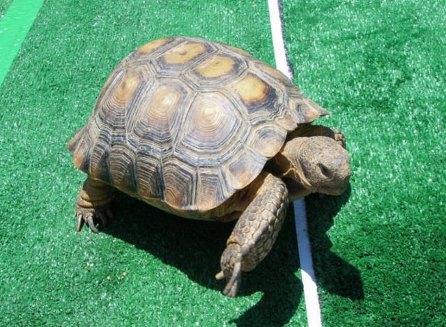 turtle-race